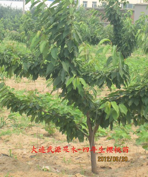【樱桃树4--10公分以上大树】厂家