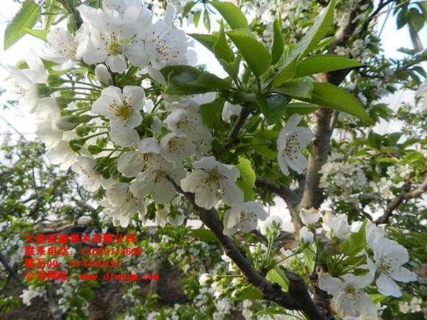 樱桃树开花了