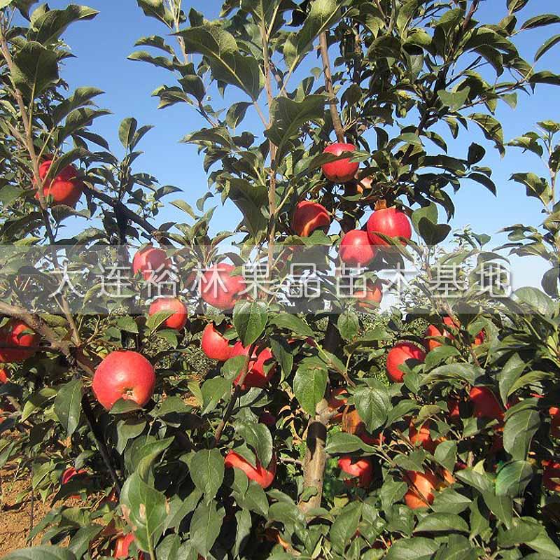 【红露苹果】厂家,价格,图片_大连裕林果品苗木基地