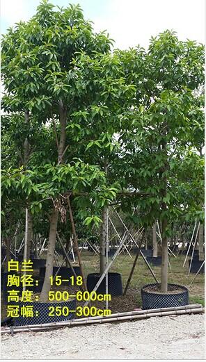 产品首页 农业 绿化苗木 乔木 白兰    白兰,又名白缅花,白兰花,缅
