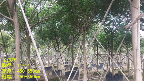 产品首页 农业 绿化苗木 乔木 吊瓜树    原产非洲,我国广东,海南