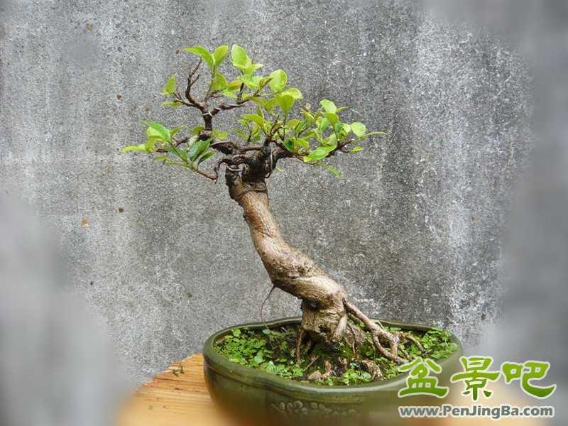 为榕树盆景的观赏价值提升,并成为漳州继水仙花之后又一独特花卉