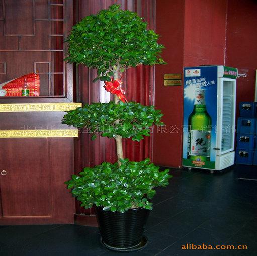 因搖錢樹生長較快,每年春季需換盆,增加肥土,并修剪整形.