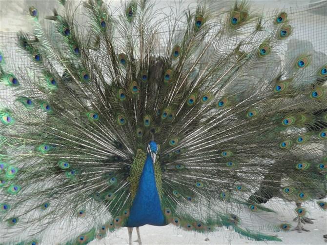 绿孔雀则为国家一级保护动物