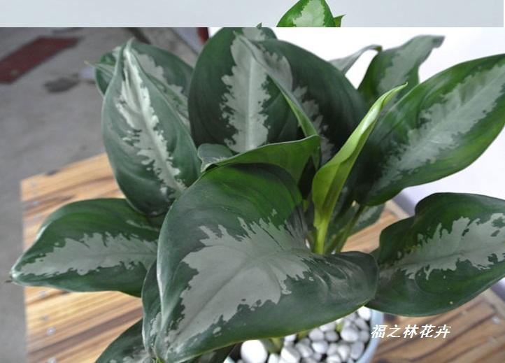 雅丽皇后花卉盆栽除甲醛吸味植物中型绿植新居必备吸毒耐阴好养