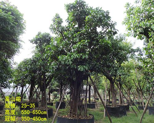 山榕为阳性树种,四季常绿,树冠广阔,树姿丰满壮观,生性强健,耐干旱