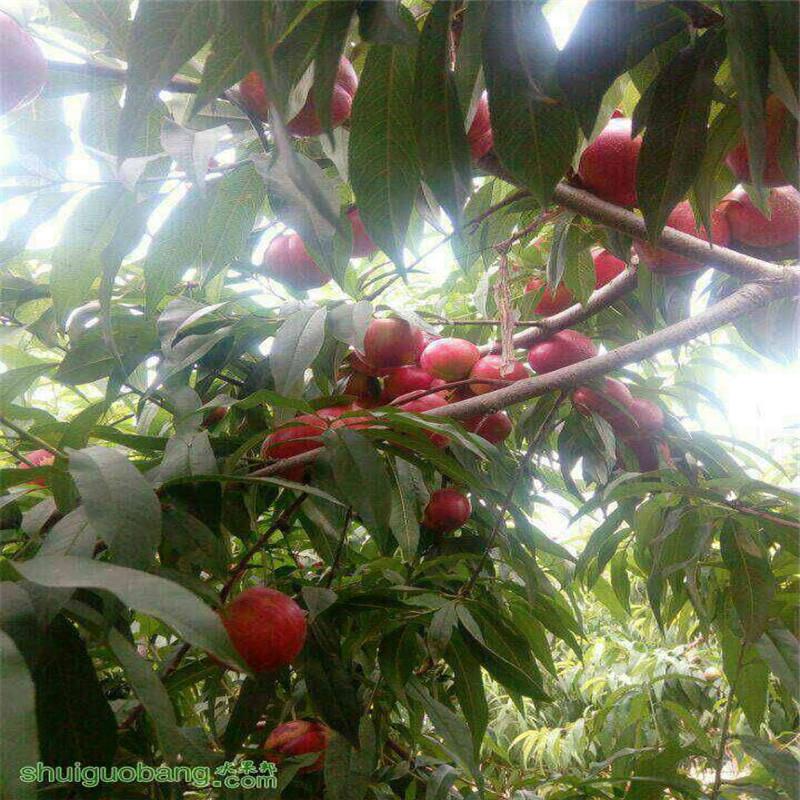 沟桃树图片欣赏