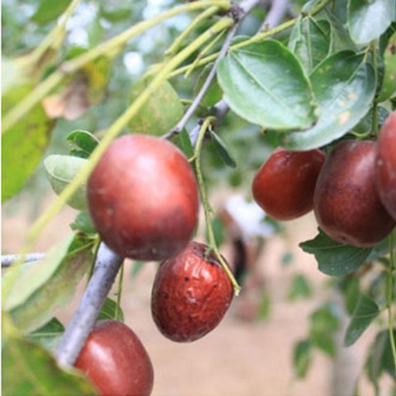 山东泰安基地供应优质宁阳枣树苗 圆红枣树苗批发 枣树苗品种 枣树苗