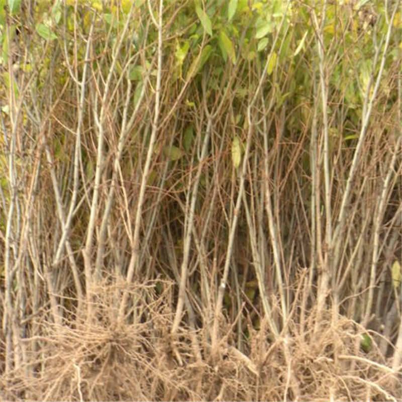 【矮化石榴树苗 无籽水晶石榴苗适合南北方种植 可可