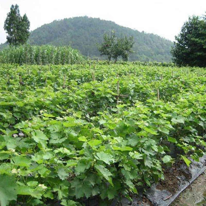 葡萄苗指的是葡萄的幼苗状态,葡萄苗一般分为扦插苗和 嫁接苗,扦插苗指的是在成熟的葡萄枝条上剪下十五公分到二 十公分,在沙土里进行培育,生长一年后,在根部会长生出根 须,这样就可以对葡萄进行种植了。嫁接苗指的是在扦插苗的 基础上对扦插苗进行枝剪,把两个不同品种的葡萄苗木进行嫁 接一起,种植一年以上就可以种植了。也就是说一棵扦插苗生 长为一年,一棵嫁接苗生长要在两年以上,三年以后就可挂果 。葡萄苗木主要按葡萄的品种分类,主要有巨峰,红提,美人 指,白鸡心,夏黑,藤稔,晚红,青提,等等品种,一般巨峰 为扦插苗