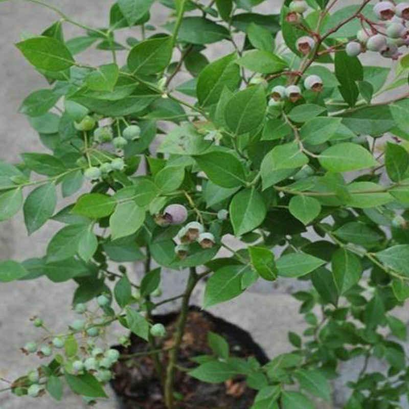 前三年的幼树在冬季修剪时,主要是疏除下部细弱枝,下垂枝,水平枝