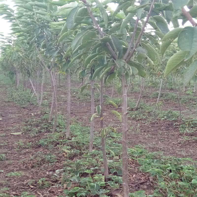 苗圃直销3公分樱花树苗 绿化樱花苗小苗 现挖现卖带土装车