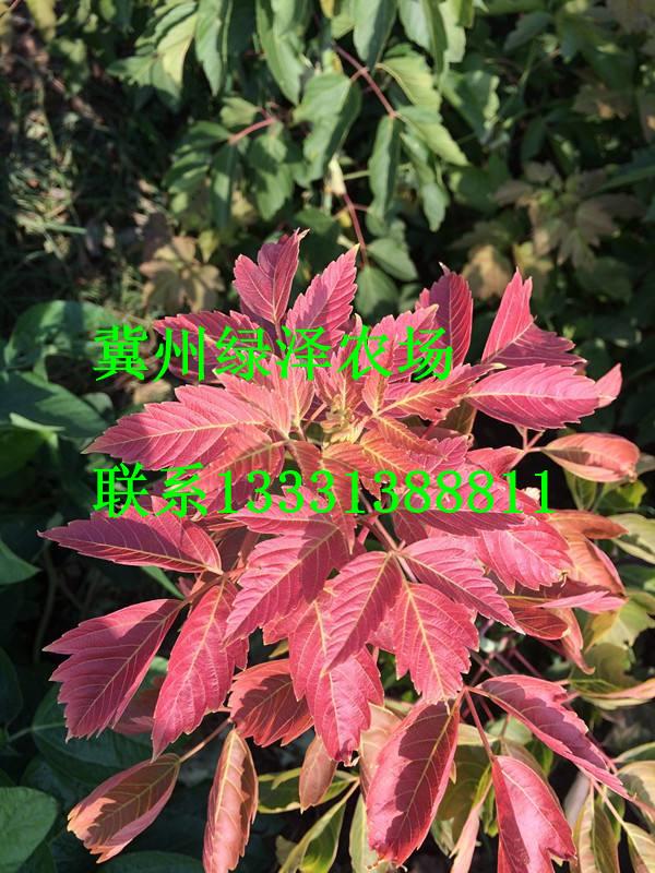 红叶复叶槭种植基地