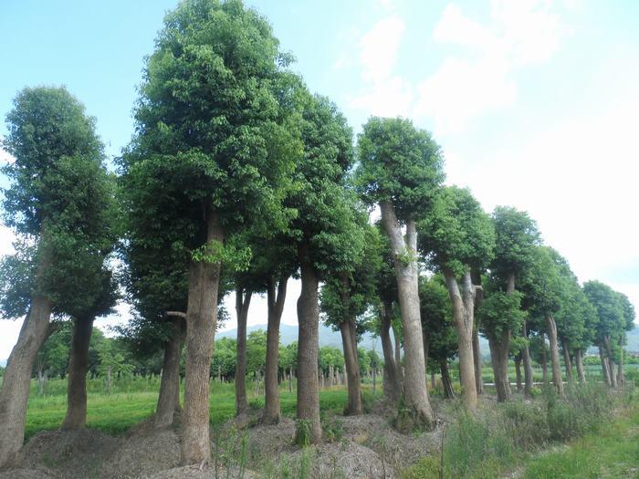 金华香樟分布范围香樟树形状   产中国南方及西南各省区.