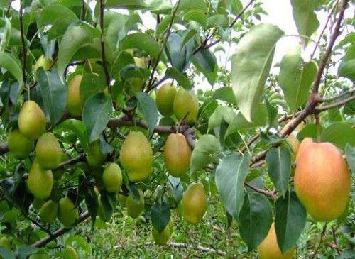 红香酥梨树