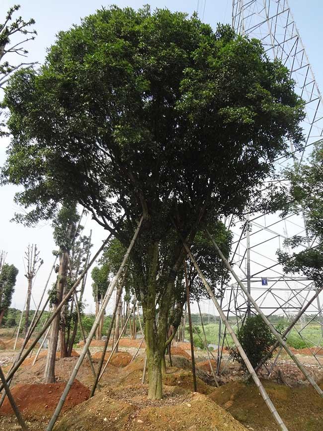 金丝楠木树高清图片_金丝楠木树大树图片 _排行榜大全