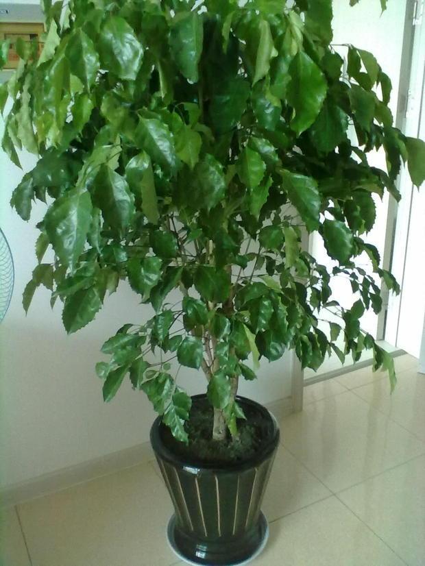 【翁记植物墙】绿墙上幸福树与绿宝的区别你知多少?