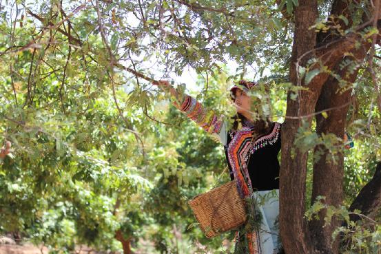酸角又名罗望子,是一种外形比较高大的乔木树,栽下以后要经过十年