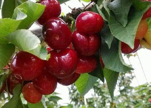 第八届大马樱桃生态园采摘节盛大开幕