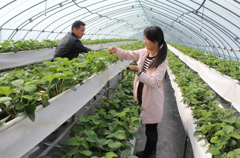 大棚草莓的种植技术