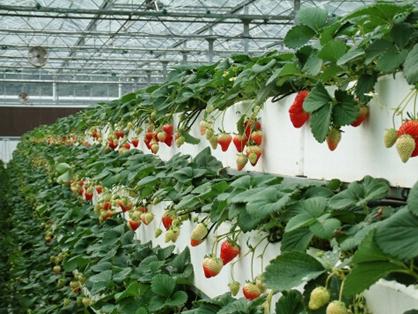 草莓立体种植槽推广的意义
