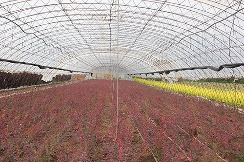 红叶三颗针的栽培技术