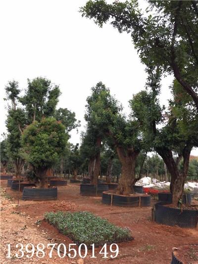 云南清香木的繁殖方法?