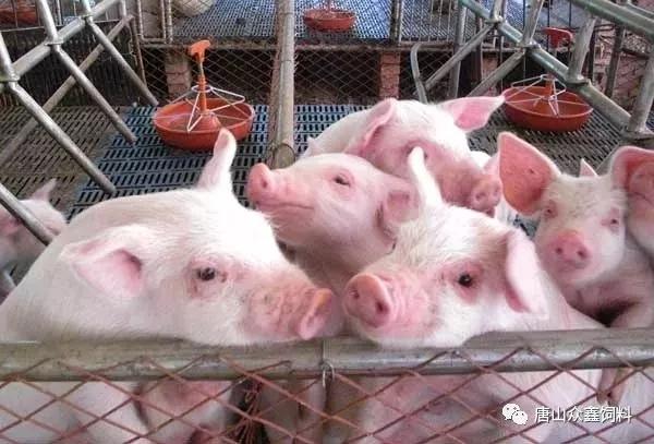 养猪育肥三阶段