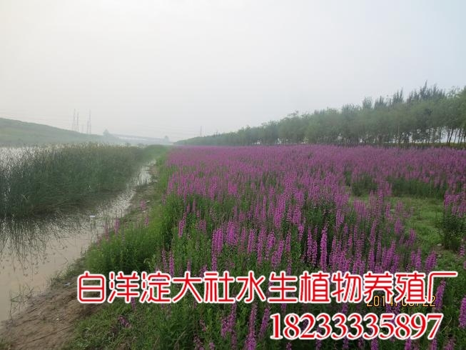 天津北辰郊野公园种植黄菖蒲荷