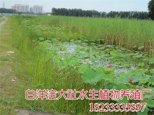北京潮白河人工湿地种植水生植物
