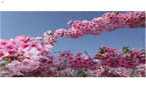 云南冬樱花——无量山