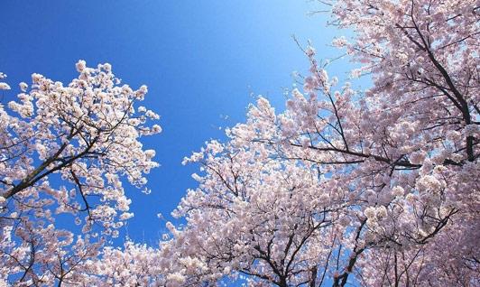 湖北櫻花是如何種植的