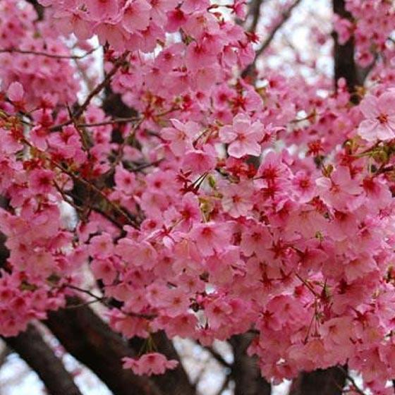 中國紅櫻花的栽植技巧