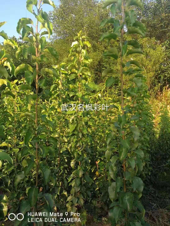 如何培育出優質彩葉豆梨秋火焰?完整種植技術收藏了!