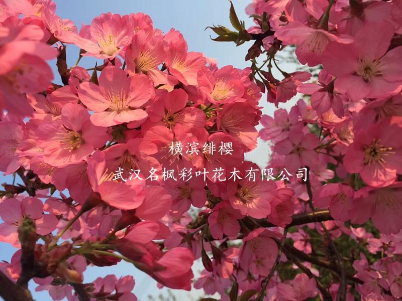這幾種彩葉苗木是觀賞界的新晉網紅!