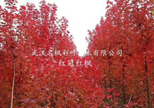 【彩葉豆梨秋火焰】這幾個紅葉品種迎來了好行情!