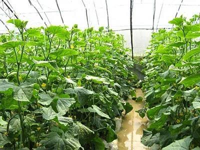 蔬菜種植如何施肥?