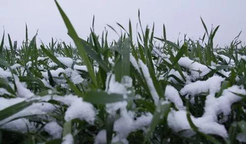 冬小麥應該如何追肥?