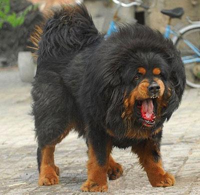 世界上最大的狗藏獒_世界上最重的藏獒王图片_世界上最重的藏獒王图片下载
