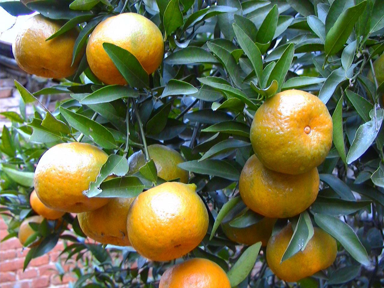柑橘施肥|昆明瑞赛绿满地生物科技开发有限公司