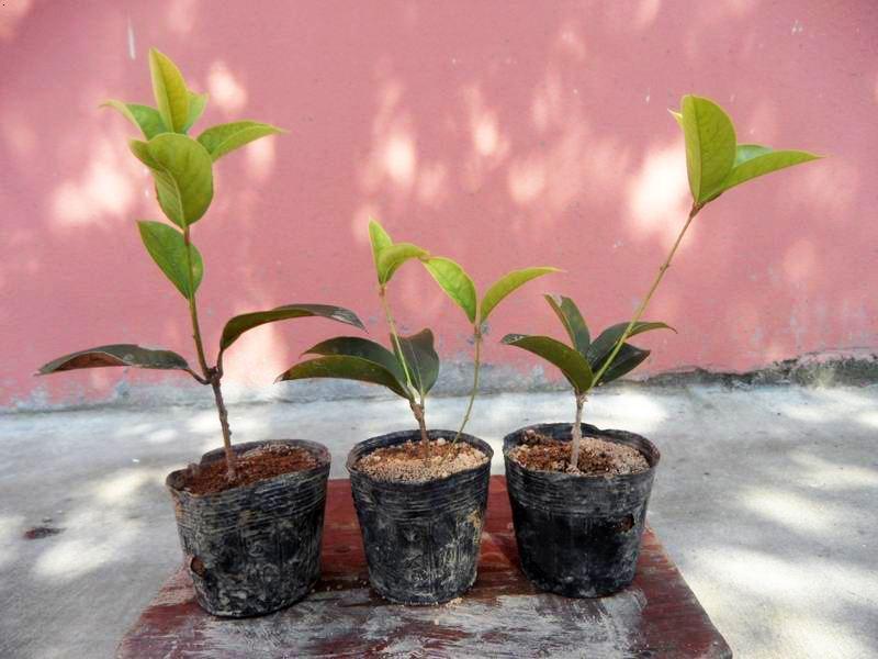 盆景 盆栽 植物 800_600