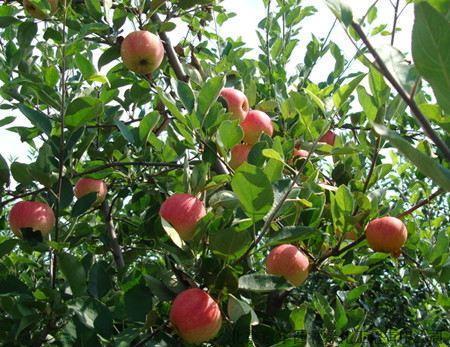 苹果树在自然生长情况下,根系和枝条的生长量是一样的,所以,当树体变