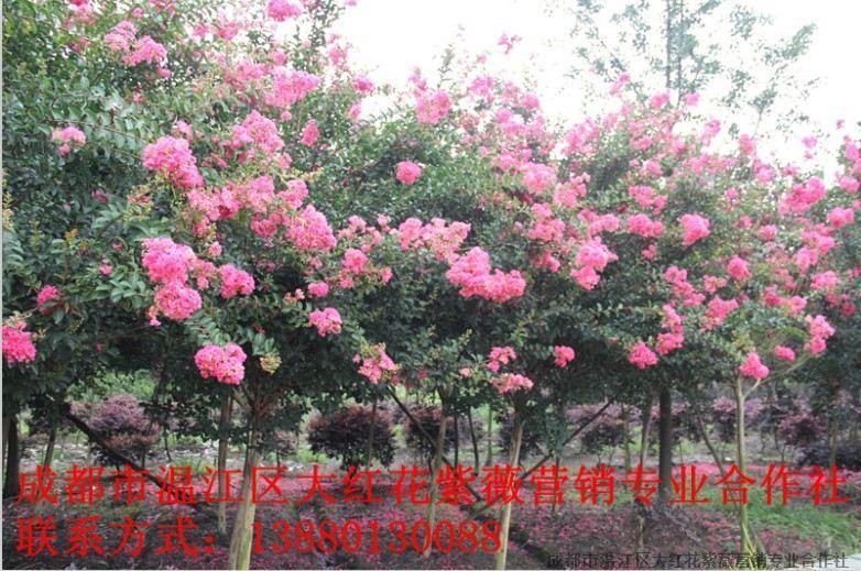 |成都市温江区大红花紫薇