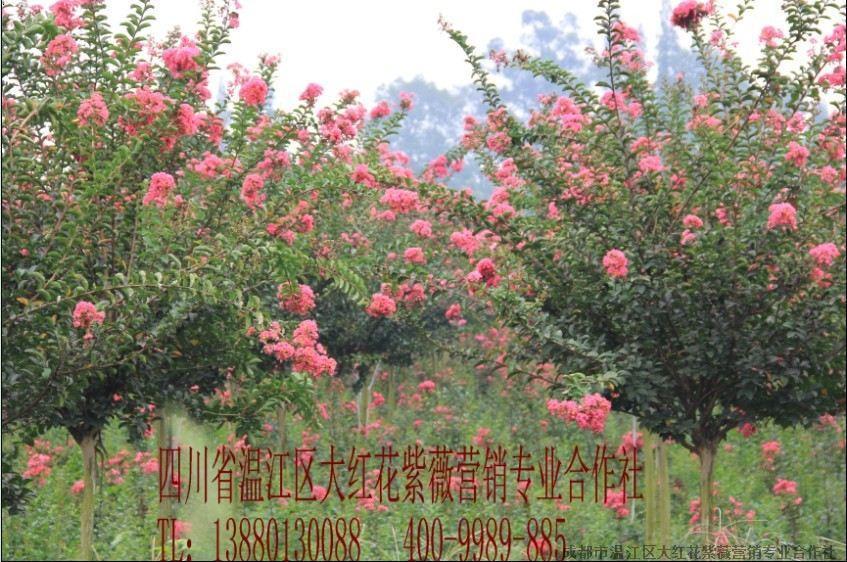 紫薇反复轮剪的作用是什么 成都市温江区大红花紫薇