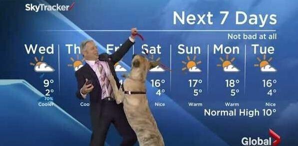 主持人牵狗播报天气预报,狗狗失控