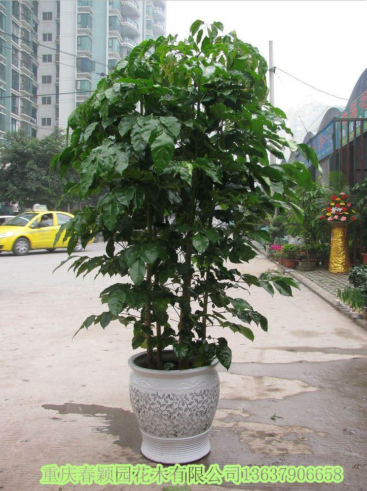 绿宝树的基本信息: 绿宝树(Radermachera hainanensis Merr.),又名大叶牛尾连、牛尾林。紫葳科,落叶乔木,高20-25m。在我国主要分布于广东、海南、云南、广西等省区,分布海拔为300~600m。   绿宝树的养殖方法和注意事项:   1、基质:应选用疏松、透气、排水良好的基质,可以用如今的进口基质或者用国产的草炭土加珍珠岩和蛭石来配制,也可用腐叶土与河沙混合栽培。如今市场流行的栽培方式是每盆栽培一株或者两株,每盆的株高在70cm以上。   2、湿度:喜欢比较湿润的土壤和