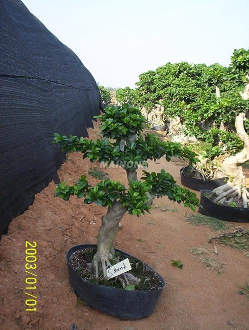 【气根榕树盆景】厂家,价格,图片_福建漳浦沙西榕树