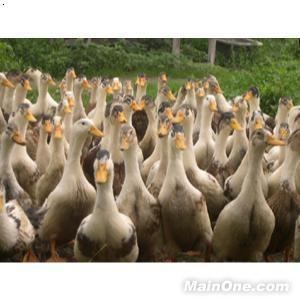 鸭子涨价_【鸭子】厂家,价格,图片_成都青羊区回龙养殖场_必途网