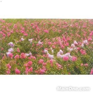 产品首页 农业 绿化苗木 乔木 紫薇树  价      格: 面议 品      牌
