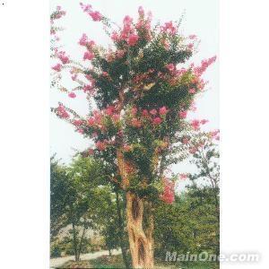紫薇树:千屈菜科,紫薇属,别名百日红,常绿灌木或亚乔木